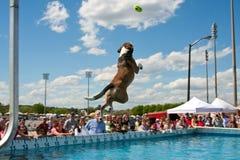 El perro grande salta sobre el agua para coger el juguete Imagenes de archivo