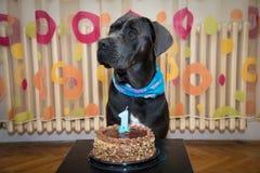 El perro gris oscuro hermoso celebra su primer cumpleaños Imagen de archivo