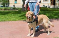El perro guía está ayudando a un hombre ciego fotografía de archivo