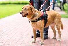 El perro guía está ayudando a un hombre ciego foto de archivo libre de regalías