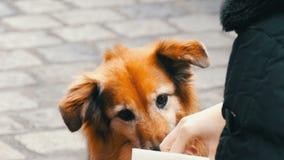 El perro hambriento en la calle pide un pedazo de comida de la salchicha de una muchacha El perro se lame la nariz y los fingeres almacen de metraje de vídeo