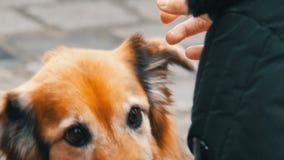 El perro hambriento en la calle pide un pedazo de comida de la salchicha de una muchacha El perro se lame la nariz y los fingeres almacen de video