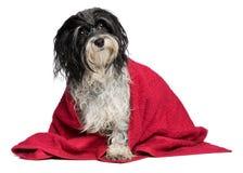 El perro havanese mojado con una toalla roja está mirando para arriba Imagen de archivo