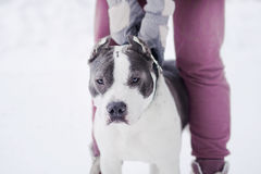 El perro hermoso adulto joven del terrier de Staffordshire americano salta al tirador en invierno en nieve Fotografía de archivo libre de regalías