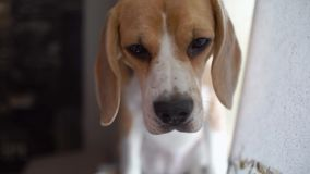 El perro hermoso del beagle mira cuidadosamente y escucha el dueño Retrato del primer, luz suave, cámara lenta HD metrajes