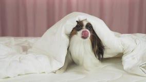 El perro hermoso Papillon en la cama se arrastra hacia fuera de debajo el vídeo común combinado de la cantidad almacen de video