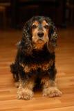 El perro hermoso - perro de aguas de cocker fotos de archivo