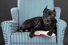 El perro inteligente en vidrios lee un libro Foto de archivo libre de regalías