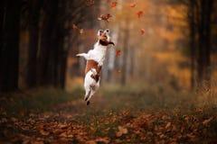 El perro Jack Russell Terrier salta sobre las hojas fotografía de archivo libre de regalías