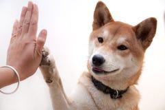 El perro japonés lindo da hola-cinco para el símbolo del saludo del compinche Imagenes de archivo