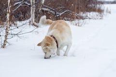 El perro japonés pelirrojo hermoso lindo de Akita Inu come nieve en una nieve acumulada por la ventisca en el invierno en el bosq imágenes de archivo libres de regalías