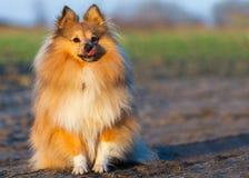 El perro joven del sheltie se sienta Imagen de archivo