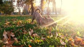 El perro juega con el palillo en parque en el resplandor del sol poniente Cuidado y entrenamiento para los animales domésticos almacen de video