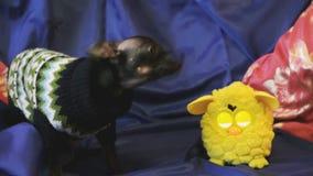 El perro juguete-Terrier raspa y juega con un juguete amarillo en un sofá azul almacen de metraje de vídeo