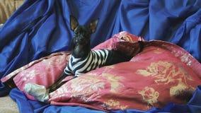 El perro juguete-Terrier raspa y juega con un juguete en el sofá metrajes