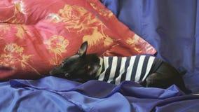 El perro juguete-Terrier raspa y juega con un juguete en el sofá almacen de video