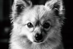 EL Perro Jupe Fotografía de archivo libre de regalías