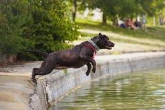 El perro Labrador salta en el agua Foto de archivo