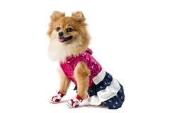 El perro lindo de Pomeranian sobre blanco Fotografía de archivo libre de regalías