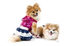 El perro lindo de Pomeranian sobre blanco Fotos de archivo libres de regalías