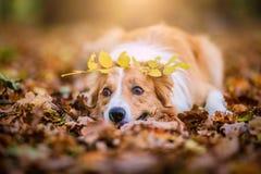 El perro lindo del border collie miente en hojas Fotos de archivo libres de regalías