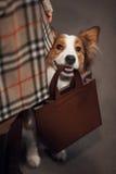 El perro lindo del border collie sostiene un bolso fotos de archivo libres de regalías