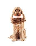 El perro lindo pide comer Imagen de archivo libre de regalías