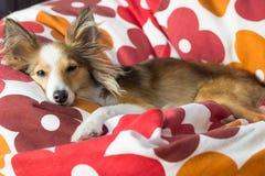 El perro lindo se relaja en puf Fotos de archivo