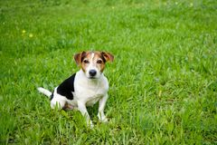 El perro lindo se sienta en la hierba verde fotos de archivo libres de regalías