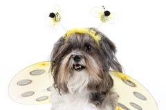 El perro lindo se vistió para arriba como abeja del manosear Imagen de archivo