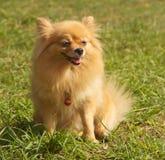 El perro maduro de Pomeranian se sienta en hierba Imagenes de archivo