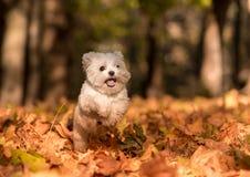 El perro maltés feliz blanco está corriendo en las hojas de otoño Imagenes de archivo