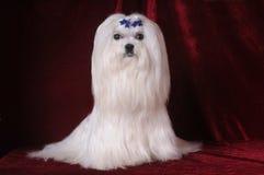 El perro maltés se sienta en el terciopelo rojo Fotografía de archivo libre de regalías