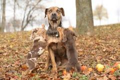 Perro de Luisiana Catahoula asustado del parenting Foto de archivo libre de regalías