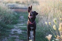 El perro marrón feliz Foto de archivo