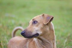 El perro marrón masculino hizo una vista triste en el fondo natural del oro, del cielo y de montañas fotos de archivo
