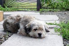 El perro mestizo miente en el jardín del patio y triste Fotografía de archivo libre de regalías