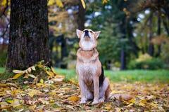 El perro mestizo se sienta en el parque del otoño y disfruta de un paseo Alrededor de las hojas caidas del amarillo Foto de archivo