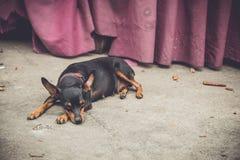 El perro miente abajo en el piso para toma un cierto resto Imagen de archivo