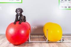 El perro miente en bola inflable en oficina de los veterinarios Fotografía de archivo