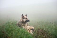 El perro miente en la tierra en la niebla Fotografía de archivo libre de regalías