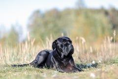 El perro miente orgulloso en el prado Fotos de archivo libres de regalías