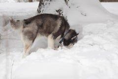 El perro mira en la nieve Imágenes de archivo libres de regalías