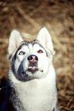 El perro mojado de la raza del husky siberiano sonríe con su lengua que cuelga hacia fuera contra los colores del verano Fotografía de archivo libre de regalías