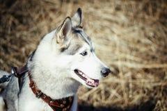 El perro mojado de la raza del husky siberiano sonríe con su lengua que cuelga hacia fuera contra los colores del verano Fotos de archivo
