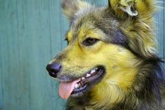 El perro nacional hermoso del pelirrojo se pegó hacia fuera la lengua imagen de archivo