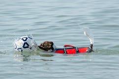 El perro nadador rescata una bola Imagenes de archivo