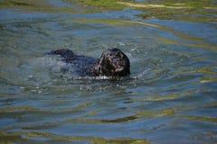 El perro negro de Labrador con marrón observa la natación foto de archivo libre de regalías