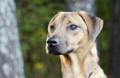 El perro negro de Vizsla del Cur de la boca mezcló el perro de la raza Foto de archivo