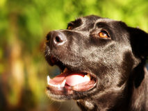 El perro negro está mirando para arriba (1) Fotografía de archivo libre de regalías